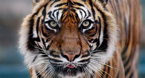 What You Can Do to Help Tigers | Defenders of Wildlife