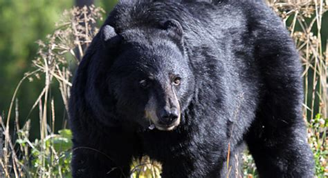 Black Bear | Basic Facts About Black Bears | Defenders of