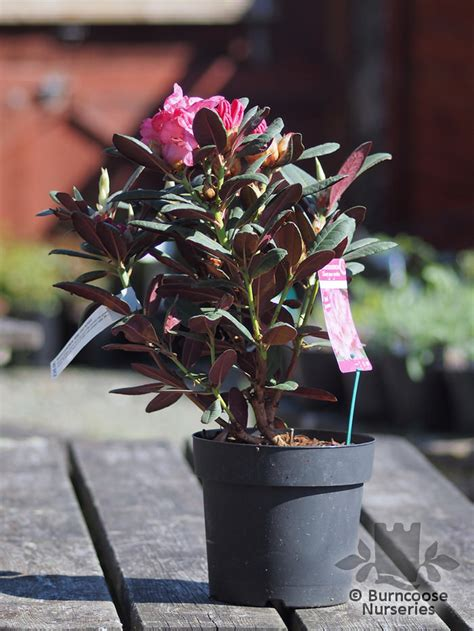 Rhododendron 'Wine And Roses' from Burncoose Nurseries