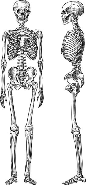 Front Side And Side View Of Human Skeleton Stock